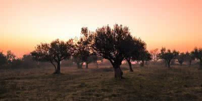 El secreto de la cosecha o recolección temprana de la aceituna